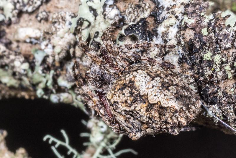 Garden orbweb spider (Eriophora pustulosa). Junction Flat, Matukituki River East Branch, Mount Aspiring National Park.