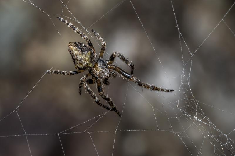 Garden orbweb spider (Eriophiora pustulosa). Stafford Bay, South Westland.