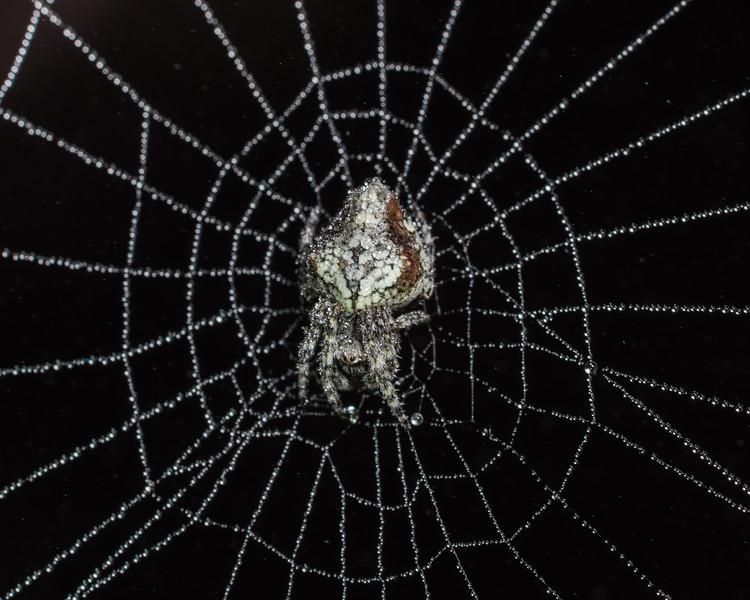 Garden orbweb spider (Eriophora pustulosa). Cameron Mountains, Fiordland National Park.