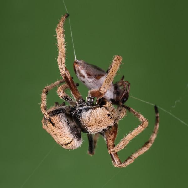 Female garden orbweb spider (Eriophora pustulosa). Gouland Downs Hut, Heaphy Track, Kahurangi National Park.