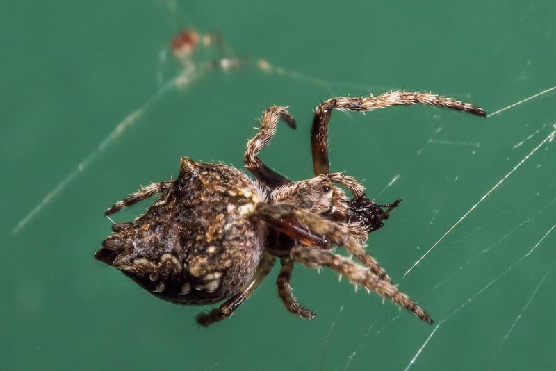 Garden orbweb spider (Eriophora pustulosa). Thisbe Hut, Catlins Forest Park.