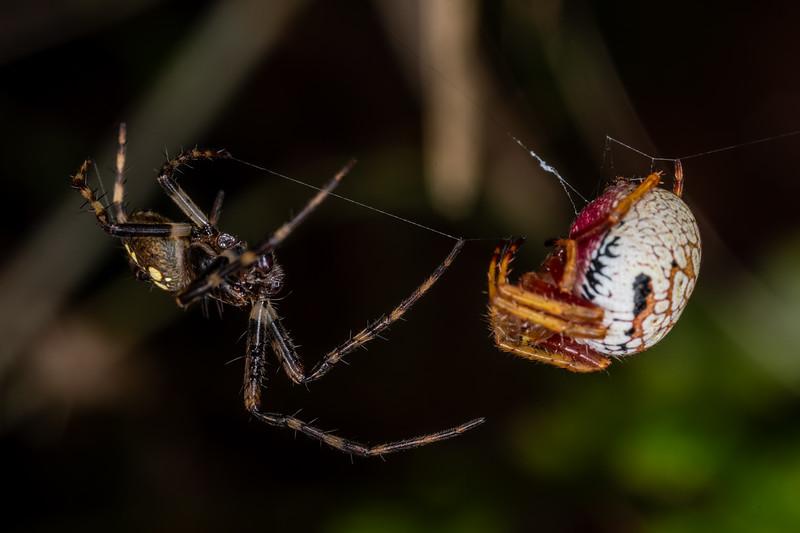 Orbweaver (Zealaranea spp.) pair. Patea Loop Track, Taranaki.