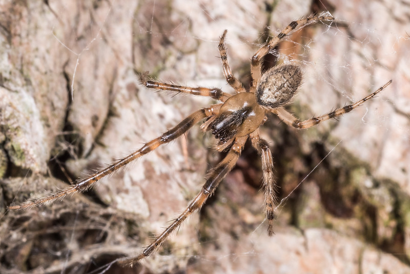 Silver-sided sector spider (Zygiella x-notata). Butchers Dam, Alexandra, Central Otago.