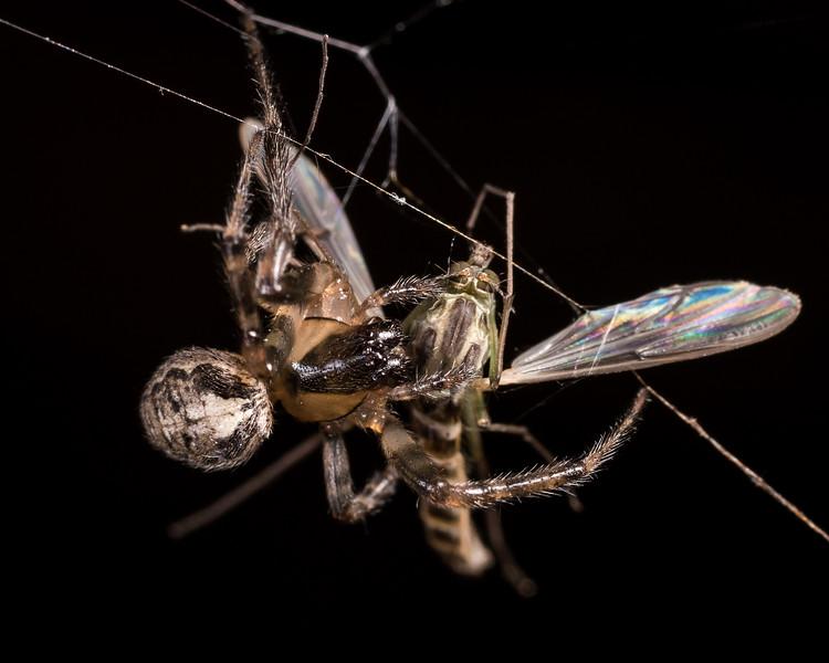 Silver-sided sector spider (Zygiella x-notata) preying on common midge (Chironomus zealandicus). Butchers Dam, Alexandra, Central Otago.