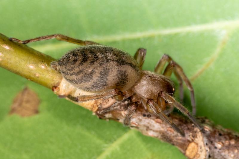White sac spider (Elaver excepta). Wild River State Park, MN, USA.