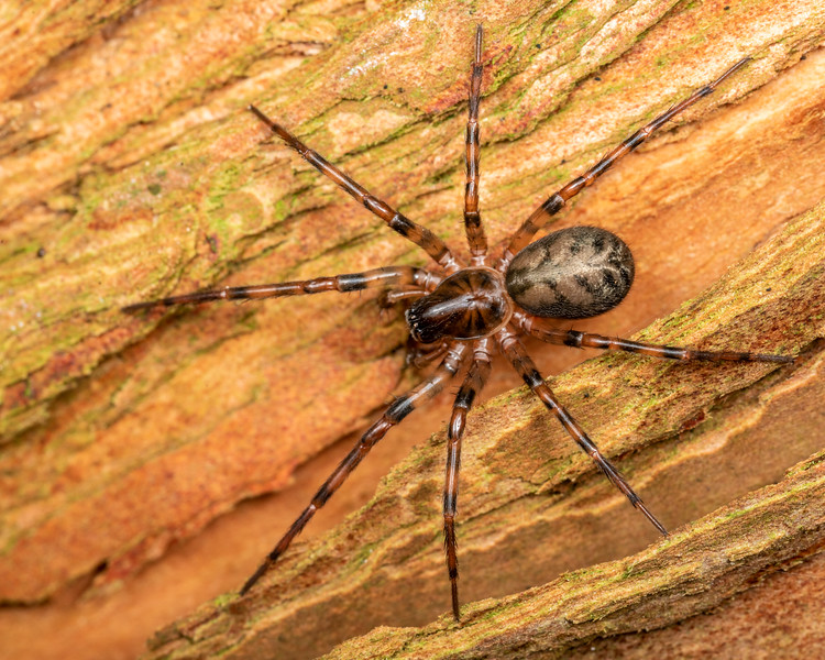 Night-hunting woodland spider (Cybaeus signifer). Patricks Point, Humboldt County, California.
