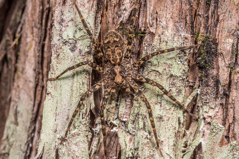 Scuttling spider (Cycloctenus fugax). Silverpeaks, Dunedin, Otago.