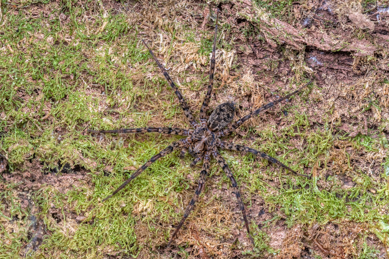 Scuttling spider (Cycloctenus nelsonensis). Bulmer Creek, Mt Owen, Kahurangi National Park.