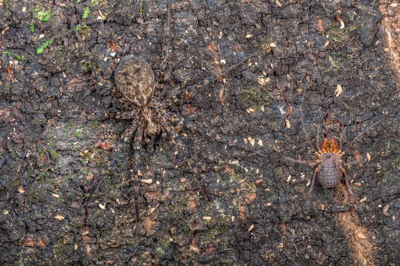 Scuttling spider (Cycloctenus nelsonensis) and harvestman (Prasma tuberculata). Brook Waimarama Ecosanctuary, Nelson.