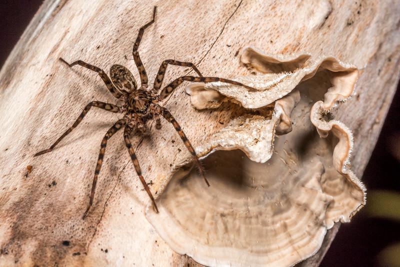 Scuttling spider (Cycloctenus nelsonensis) on Agaricomycete (Stereum spp.). Three Pointer, Heaphy Track, Kahurangi National Park.