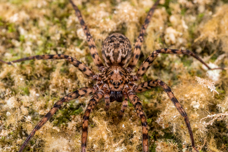 Scuttling spider (Cycloctenus nelsonensis). Gouland Downs Caves, Heaphy Track, Kahurangi National Park.