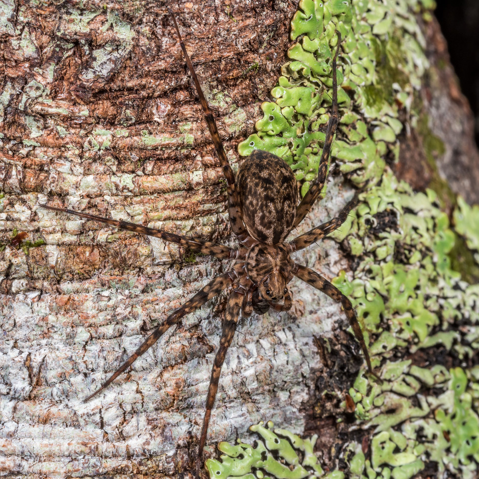 Scuttling spider (Cycloctenus nelsonensis). Perry Saddle, Kahurangi National Park.