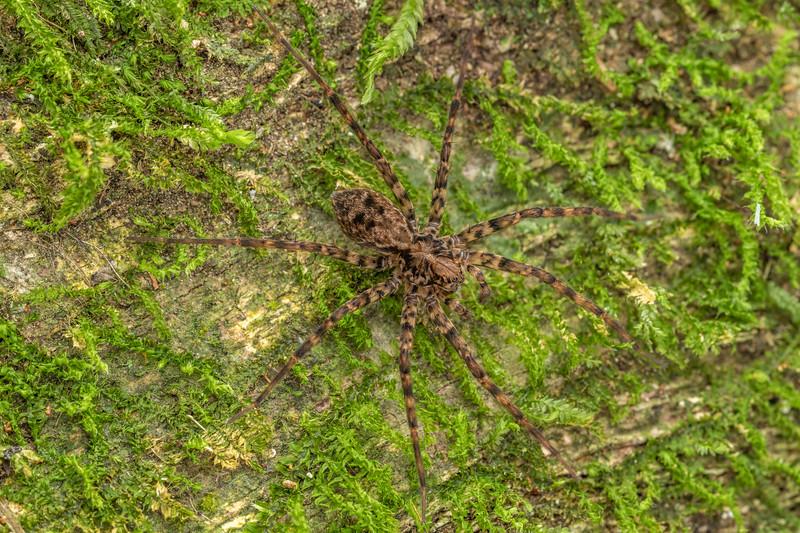 Scuttling spider (Cycloctenus sp.). Poukaria campsite, Whanganui River.