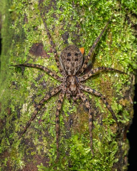 Scuttling spider (Cycloctenus sp.). Sledge track, Palmerston North, Manawatū.