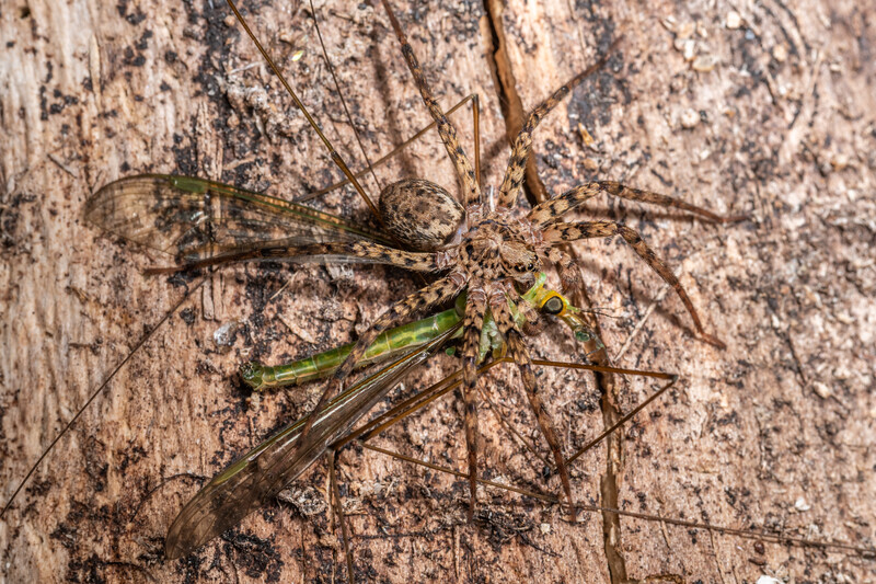 Scuttling spider (Cycloctenus spp.) preying on crane fly (Leptotarsus spp.). Duncan Bay, Tennyson Inlet, Marlborough Sounds.