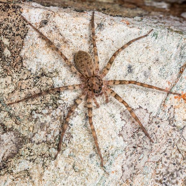 Scuttling spider (Cycloctenus spp.). Mount Richmond, Richmond Range, Marlborough.