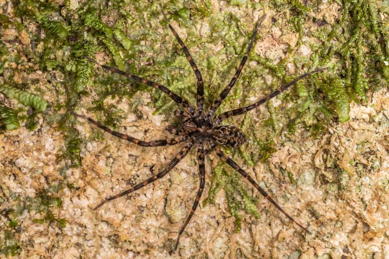 Scuttling spider (Cycloctenus spp.). Marokopa Falls Track, Waikato.