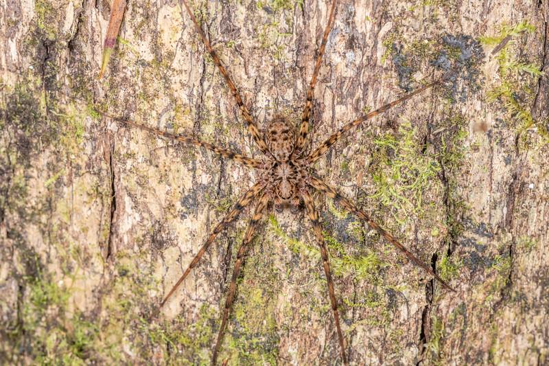 Scuttling spider (Cycloctenus spp.). Waipu Caves, Whangarei, Northland.