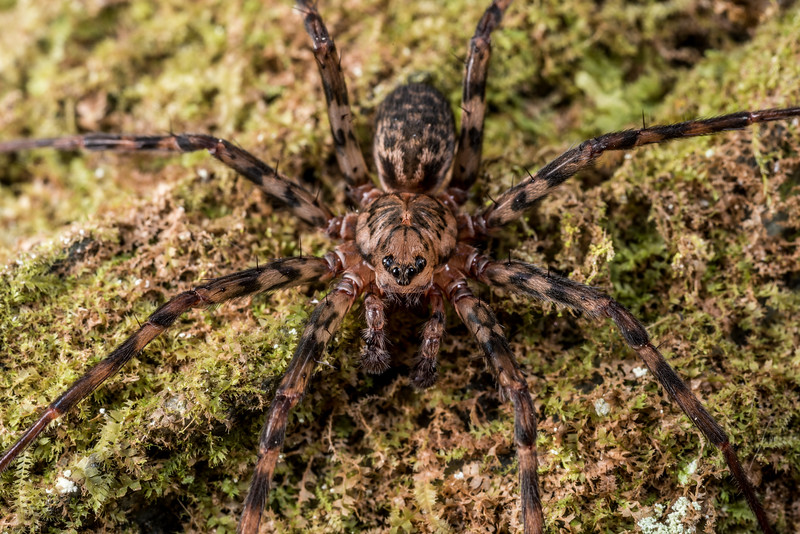 Scuttling spider (Cycloctenus westlandicus). Raspberry Flat, Matukituki River West Branch.
