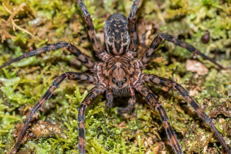 Scuttling spider (Cycloctneus westlandicus). Raspberry Flat, Matukituki River West Branch.