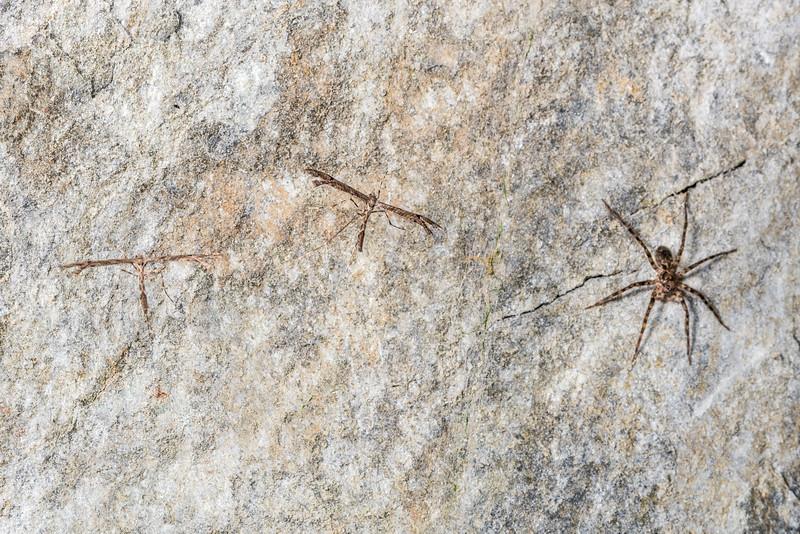 Plume moth (Amblyptilia repletalis) and scuttling spider (Cycloctenus westlandicus). Raspberry Flat, Matukituki River West Branch