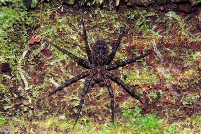 Scuttling spider (Cycloctenus westlandicus). Eglinton Valley, Fiordland National Park.