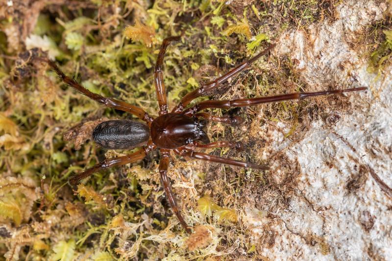 Amphinectid spider (Amphinecta spp.). Patea Loop Track, Taranaki.