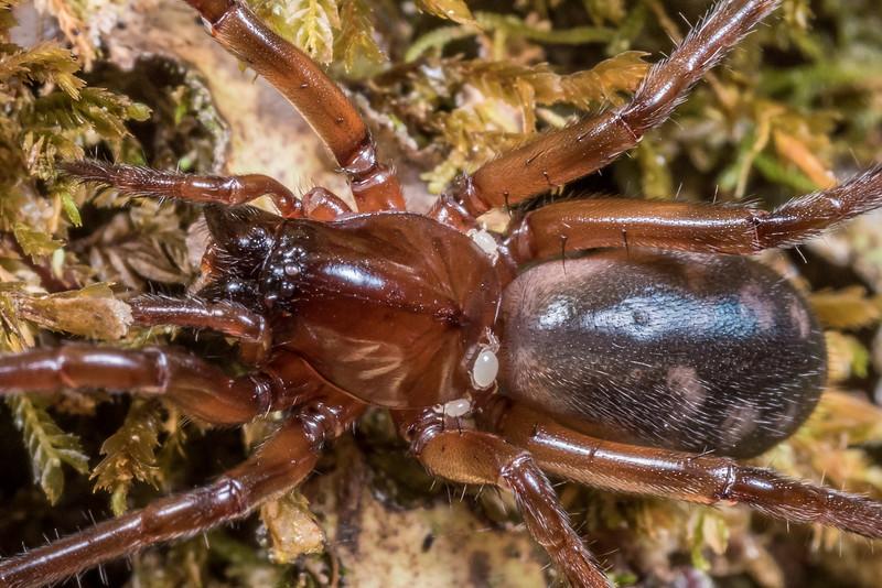 Amphinectid spider (Amphinecta spp., probably Amphinecta mula based on geographical distribution). Three Pointer, Heaphy Track, Kahurangi National Park.