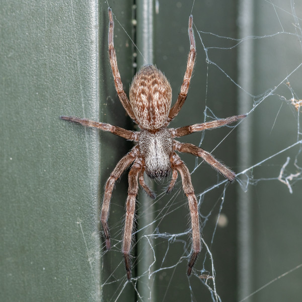 Grey house spider (Badumna longinqua). Brook Waimarama Ecosanctuary, Nelson.