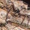 Grey house spider (Badumna longinqua) preying on common midge (Chironomus zealandicus). Butchers Dam, Alexandra, Central Otago.