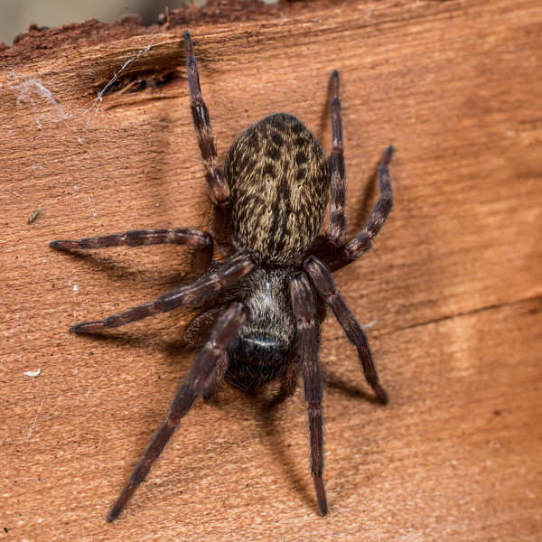 Grey house spider (Badumna longinqua). Deep Stream, Otago.