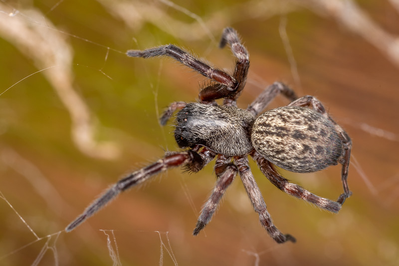 Grey house spider (Badumna longinqua). Patricks Point, Humboldt County, California.