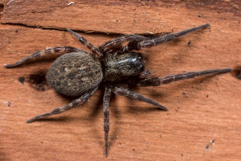 Grey house spider (Badumna longinqua). Deep Stream, Otago.