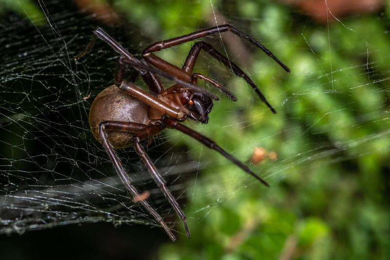 Sheetweb spider (Cambridgea foliata). Truman Track, Punakaiki, Westland.