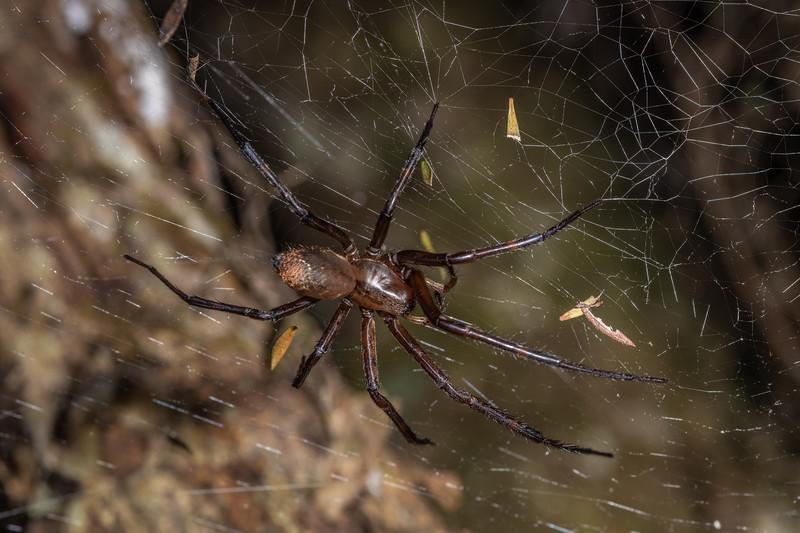 Sheetweb spider (Cambridgea foliata). Tangihua Hut, Tangihua Forest, Northland.