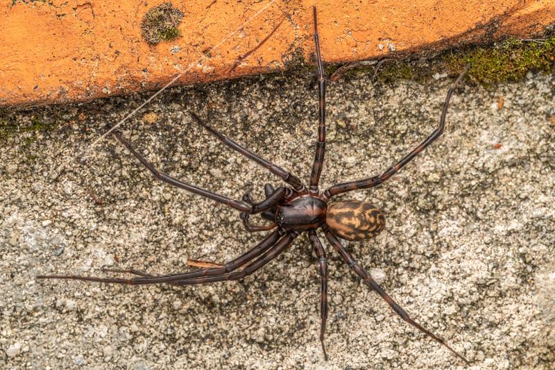 Sheetweb spider (Cambridgea plagiata). Driving Creek Ecosanctuary, Coromandel.