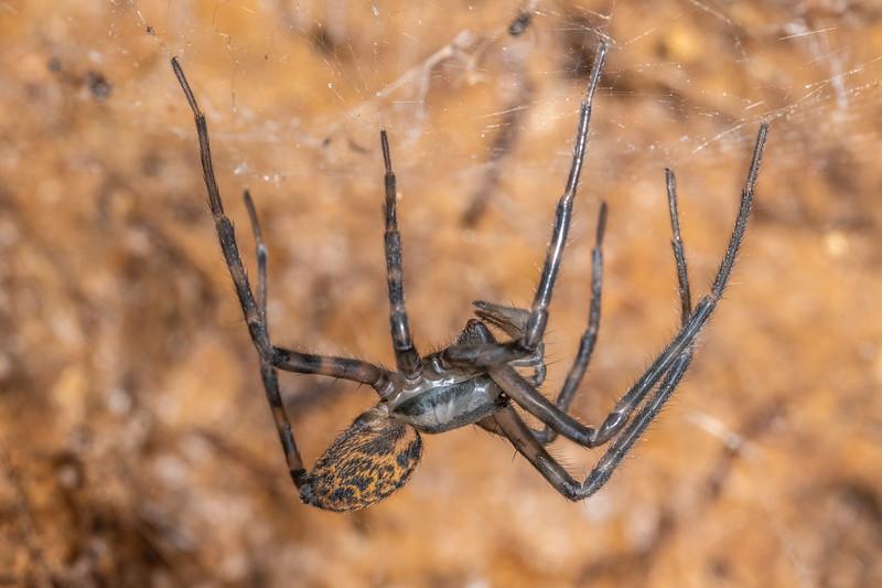 Sheetweb spider (Cambridgea plagiata). Blue Lake, Rotorua.