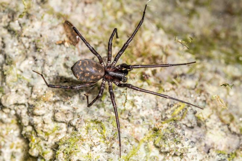 Sheetweb spider (Cambridgea plagiata). Mangahopue Arch Track, Waitomo.