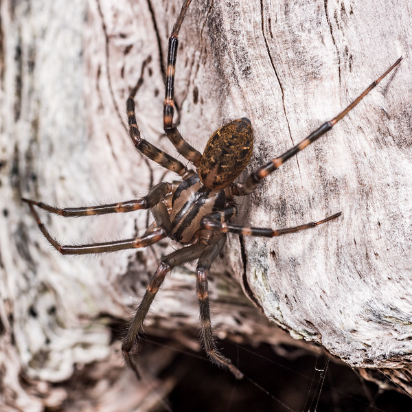 Sheetweb spider (Cambridgea spp.). Lake Monk, Fiordland National Park.