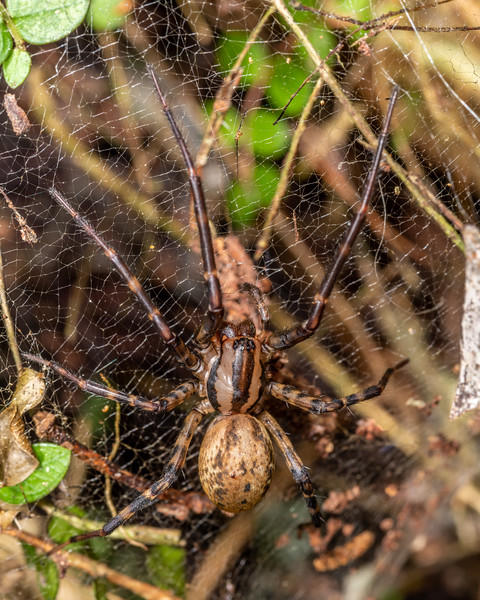 Sheetweb spider (Cambridgea spp.). Mangahopue Arch Track, Waitomo.