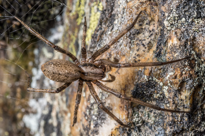 Sheetweb spider (Genus Cambridgea). Major Peak, Wakatipu