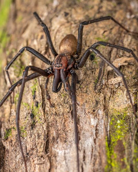 Sheetweb spider (Cambridgea sp.) adult male. Pioneer Park, Canterbury.