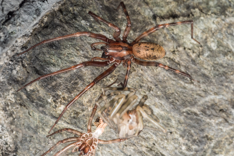 Sheetweb spider (Cambridgea spp.). Mt Stuart Tunnel, Manuka Gorge, Milton.