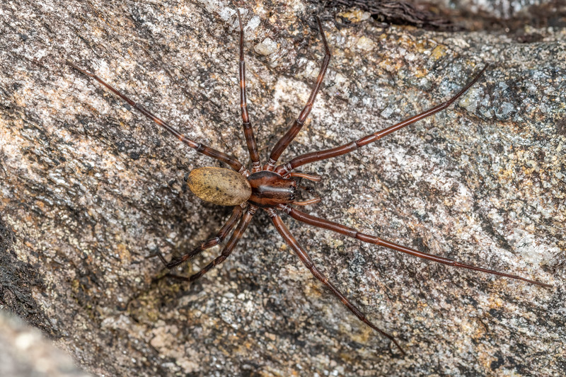 Sheetweb spider (Cambridgea spp.). Mataketake Range tops, Westland.