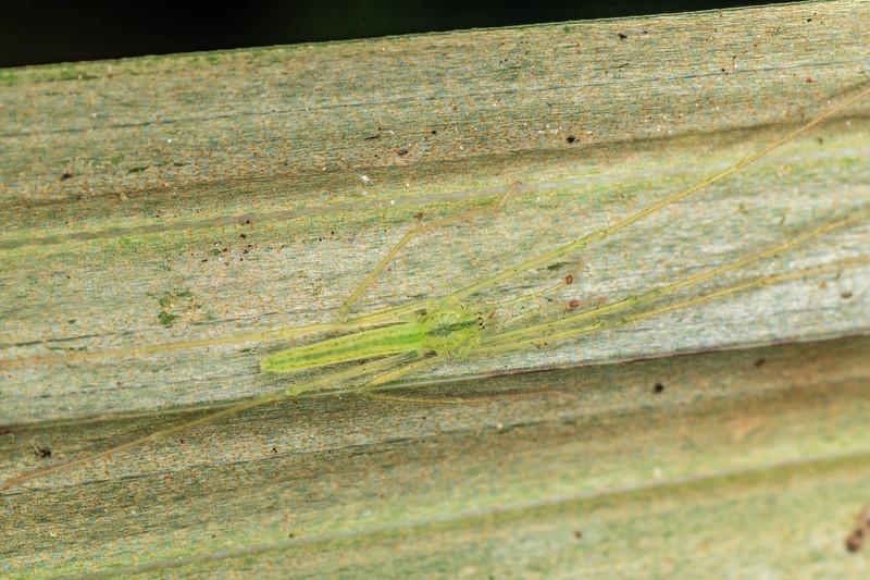 Ischalea spinipes. Patea Loop Track, Taranaki.