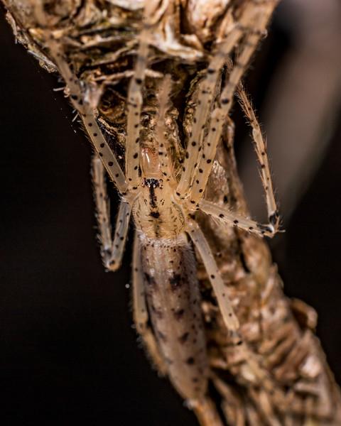 Ischalea spinipes. Lake Monk, Fiordland National Park.