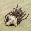 Garden orbweb spider (Eriophora pustulosa). Lewis Pass.