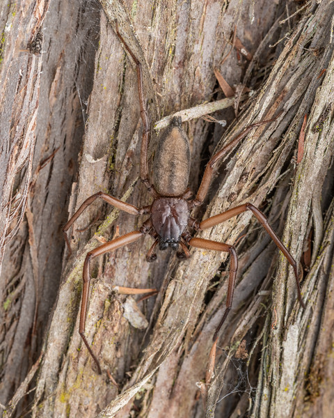 Flattaned bark spider (Hemicloea rogenhoferi). Pioneer Park, Canterbury.
