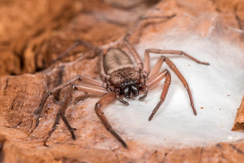 Flattaned bark spider (Hemicloea rogenhoferi). Matukituki River mouth, Lake Wanaka.