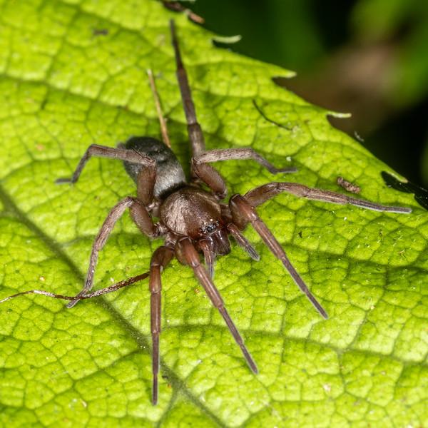 Ground spider (Hypodrassodes maoricus). Sledge Track, Palmerston North.